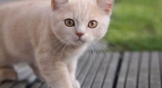 Как выбрать гладкошерстную кошку