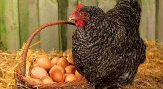 How the chicken incubates eggs