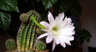 Как спасти погибающий кактус