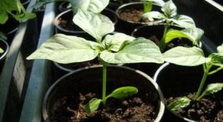 Как вырастить рассаду перцев