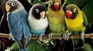 Как содержать попугая