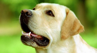 Как определить болезнь сердца у собаки