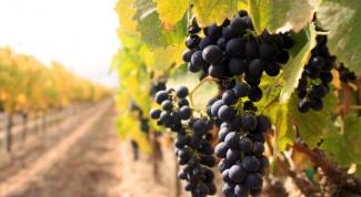 Как сажать виноград в 2018 году