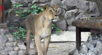 Новоселье в Московском зоопарке: Компания Unilever создала львиный прайд