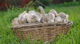 How to dig and store garlic