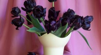 Как вырастить черные тюльпаны