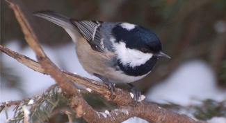 Почему птицу называют синица-московка