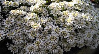 Как вырастить из семян иберис многолетний