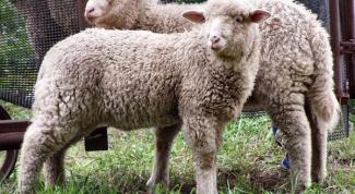 Как разводить овец романовской породы