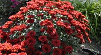 Садовая хризантема: посадка и уход
