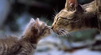 Феромоны для кошек: зачем они нужны