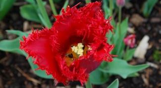 Посадка тюльпанов осенью: сроки, правила, рекомендации