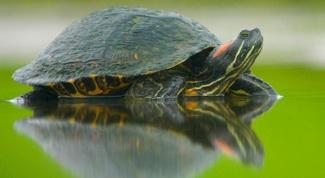 Empties into hibernation pond slider turtles