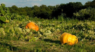 How to plant pumpkins in the open ground