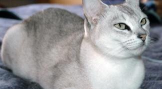 Бурмилла: особенности кошек этой породы