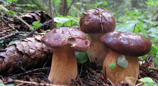 Mushrooms Poddubnyi: description and application