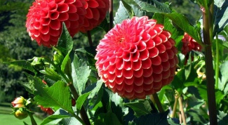 How and when to plant dahlias in open ground
