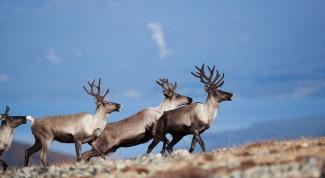 Какое лекарство готовят из рогов северных оленей