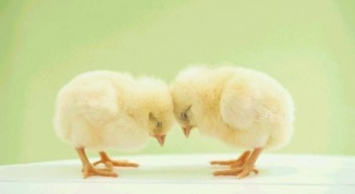 What to feed chickens in the first days of life
