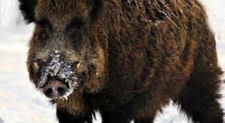 Охота на кабана зимой: особенности