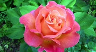 How to purchase a rose plant to its roots