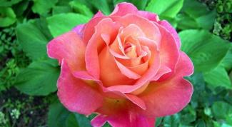 Как посадить покупную розу, чтобы она пустила корни