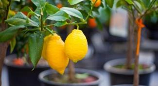 Как и когда прививать лимонное дерево