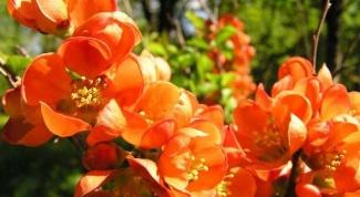 Айва японская: посадка и уход за оригинальным кустарником