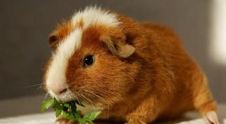 Морские свинки: уход и содержание