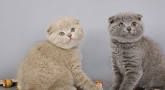 Где и как найти кота для вязки кошки