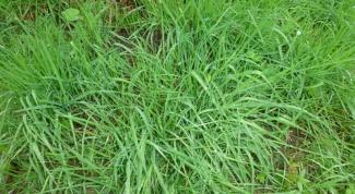 Полевица побегоносная - газонная трава для ленивых