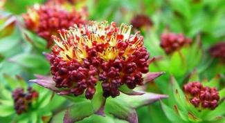 Настойка родиолы розовой — замечательное лечебное средство