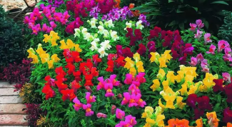 When to plant seedlings snapdragons