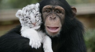 Oriental horoscope compatibility Monkey and Tiger