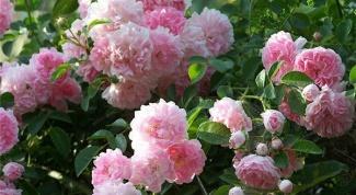 Уроки садоводам-любителям: как черенковать розу правильно ...