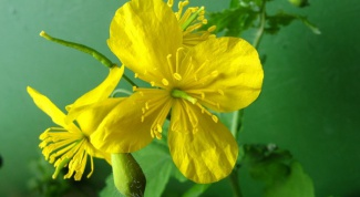 How to treat warts with celandine