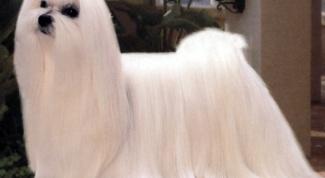 Какие есть породы комнатных собак