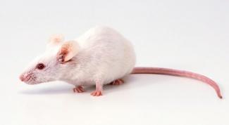 Восточный гороскоп: что ждет родившихся в год Крысы