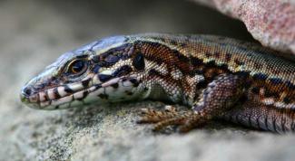 Удивительное создание природы - живородящая ящерица