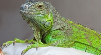 Ручной дракон: как содержать игуану