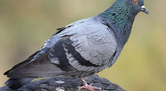 How to wean the pigeons sit on the window sill