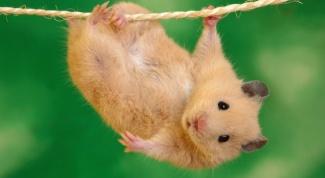 How long is pregnancy in hamsters