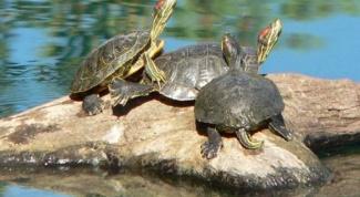 Размножаются ли в неволе красноухие пресноводные черепахи