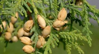 Масло туи: прекрасное средство против насморка