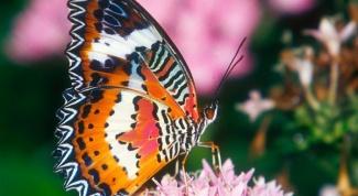 Крылья бабочки — прекрасная загадка природы