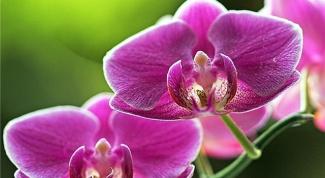 Орхидея - полив, уход, цветение