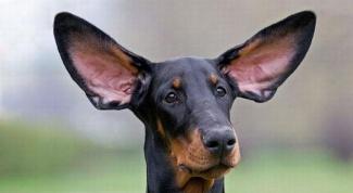 Что делать, если собака трясет ушами