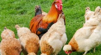 Будет ли курица нести яйца, если нет петуха