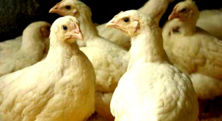 Чем кормить бройлерных цыплят