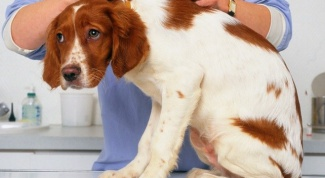 What is the reaction of dogs vaccinated against distemper